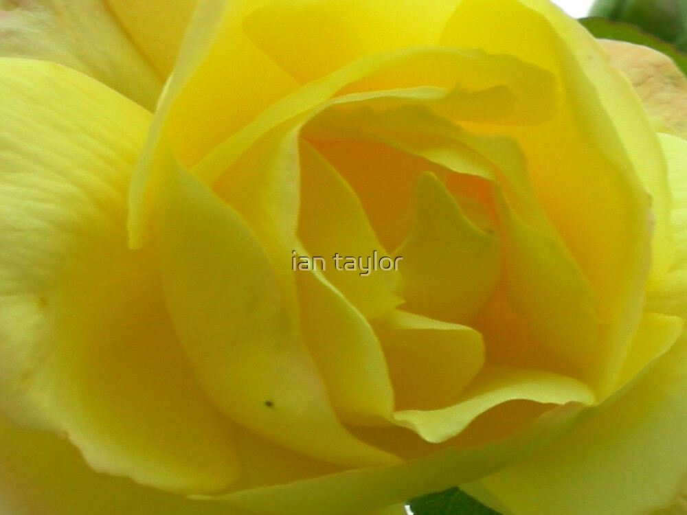 YELLOW ROSE OF LOVE by ian taylor