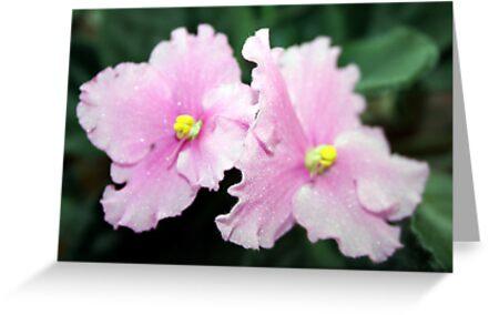 African Violet Bloom by lilkarl