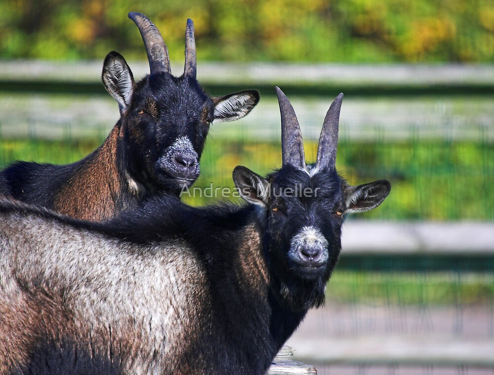 Two Goats by Andreas Mueller