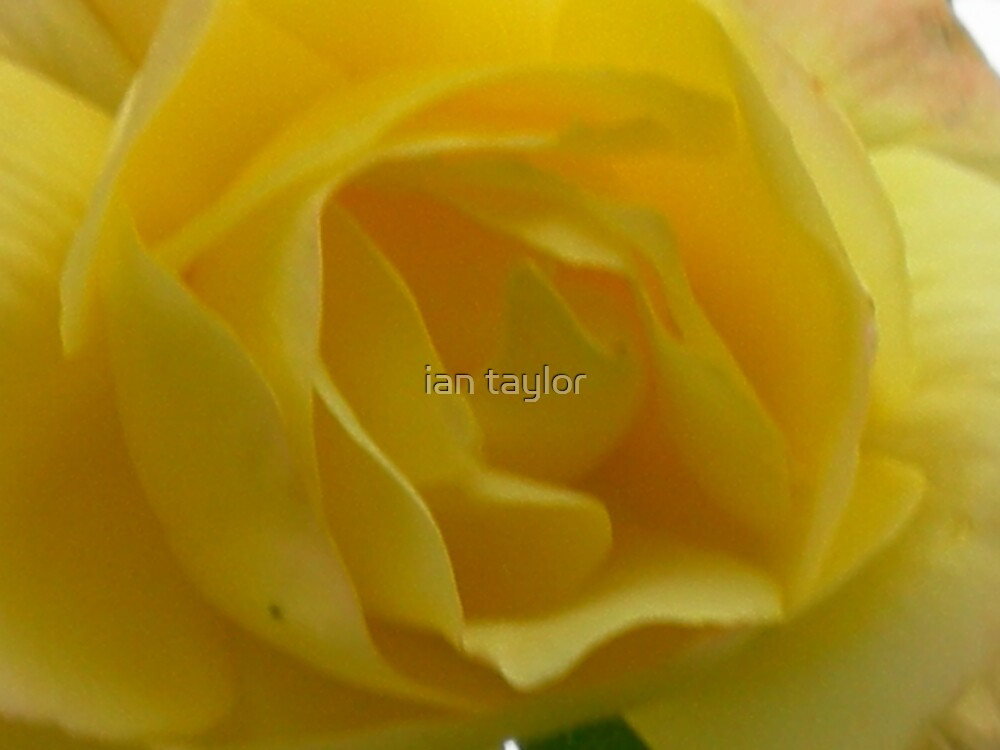 PETTALS YELLOW by ian taylor