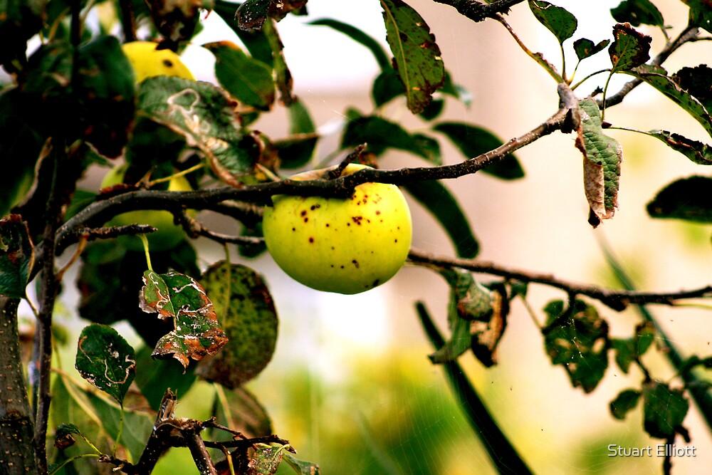 apple in tree by Stuart Elliott