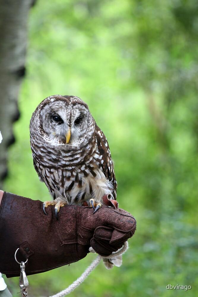 Barred Owl by dbvirago