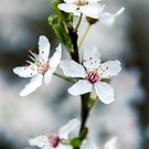 Cherry Plum, by JEZ22