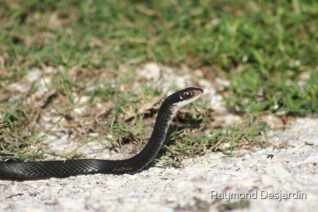 indigo snake by Raymond Desjardin