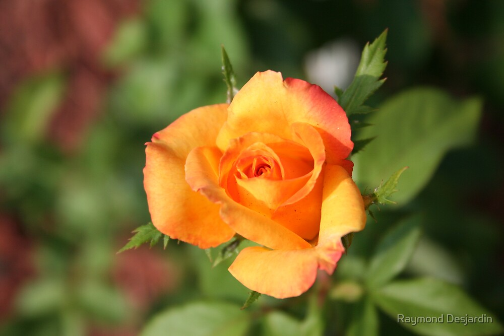 Rose by Raymond Desjardin