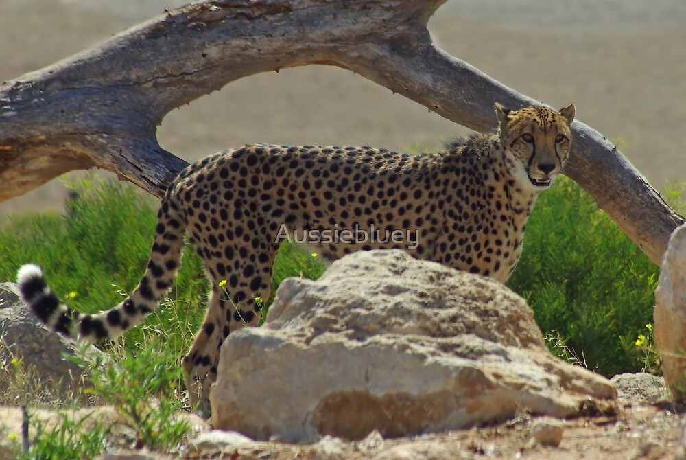 Posing Cheetah. by Aussiebluey
