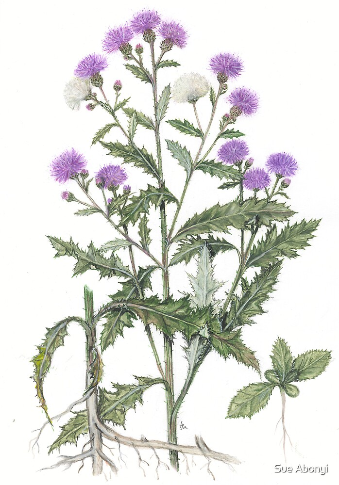 Creeping Thistle - Cirsium arvense by Sue Abonyi