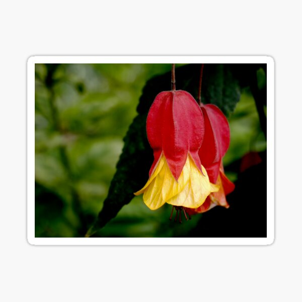 Red and Yellow Bells - Abutilon Flowers Sticker