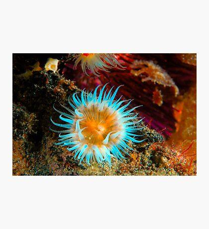 Vibrant Anemone Photographic Print