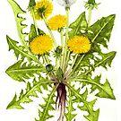 Dandelion -  Taraxacum officinale by Sue Abonyi