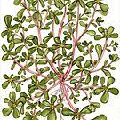 Common Purslane - Portulaca oleracea by Sue Abonyi