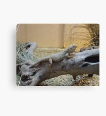Here lizard, lizard, lizard Canvas Print