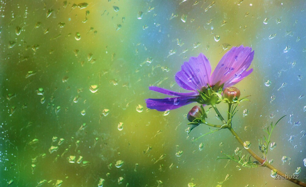Rainy Day Cosmos by zeebuzz