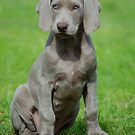 Weimaraner Puppy by Phil Rowe