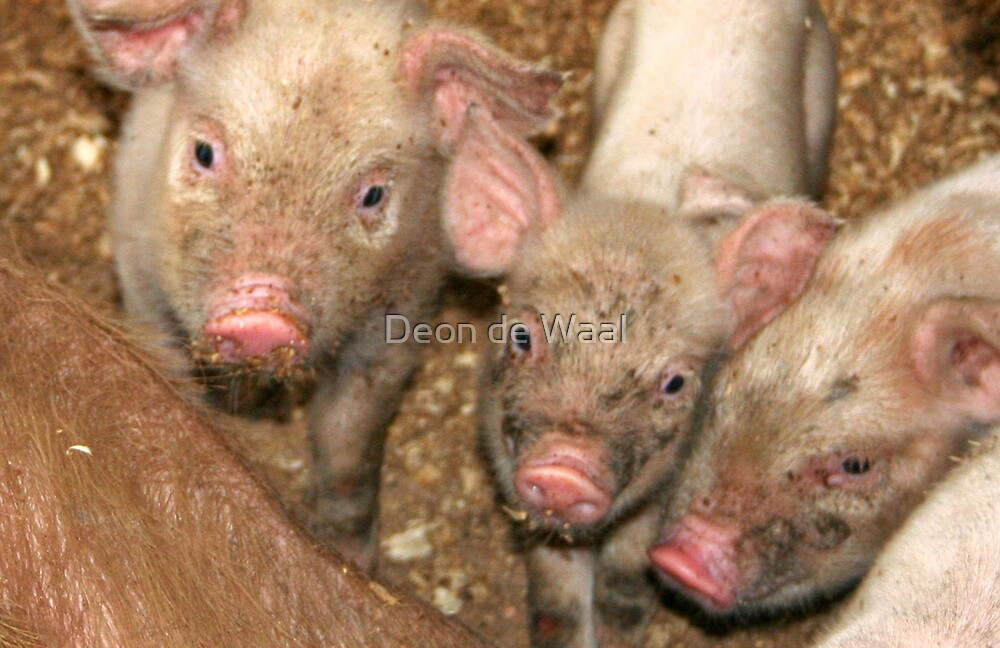 The Three Little Pigs by Deon de Waal