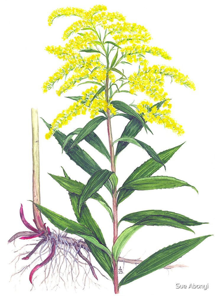 Goldenrod - Solidago gigantea by Sue Abonyi
