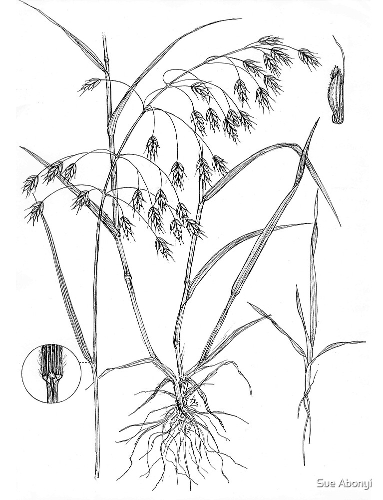 Cheat Grass - Bromus secalinus by Sue Abonyi