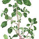 Amaranthus - Amaranthus lividus by Sue Abonyi