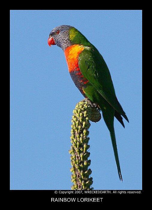 Rainbow lorikeet by Birte