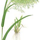 Proso Millet - Panicum miliaceum by Sue Abonyi