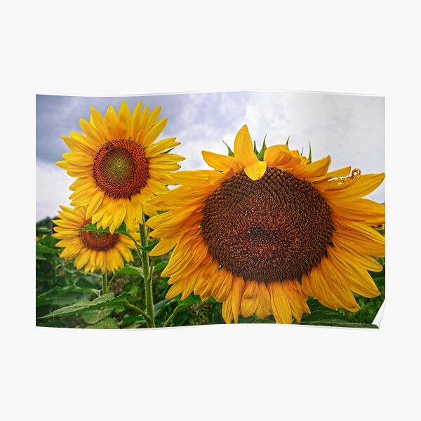 Sunflower Mama & her Daughters Poster