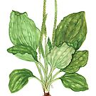 Greater Plantain - Plantago major by Sue Abonyi