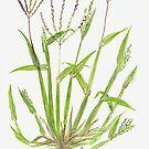Hairy Crabgrass - Digitaria sanguinalis by Sue Abonyi