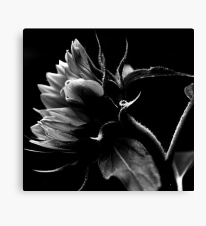 Bending Sunflower in B&W Canvas Print