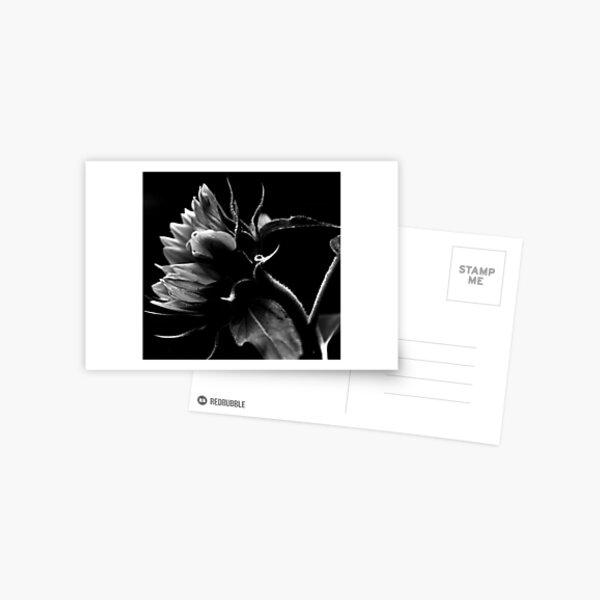 Bending Sunflower in B&W Postcard