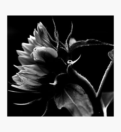 Bending Sunflower in B&W Photographic Print
