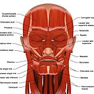 Facial muscles of the human head (with labels). by StocktrekImages