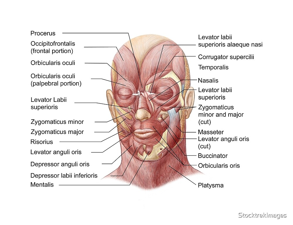 Facial Muscles Of The Human Face With Labels By Stocktrekimages