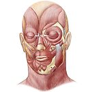 Facial muscles of the human face. by StocktrekImages