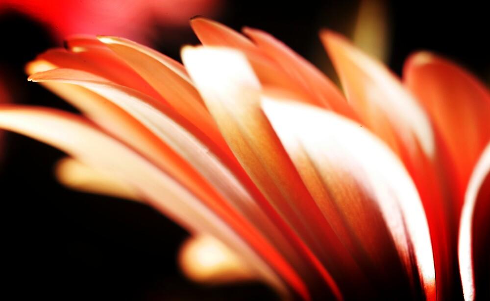 Pink Petals by bobovoz