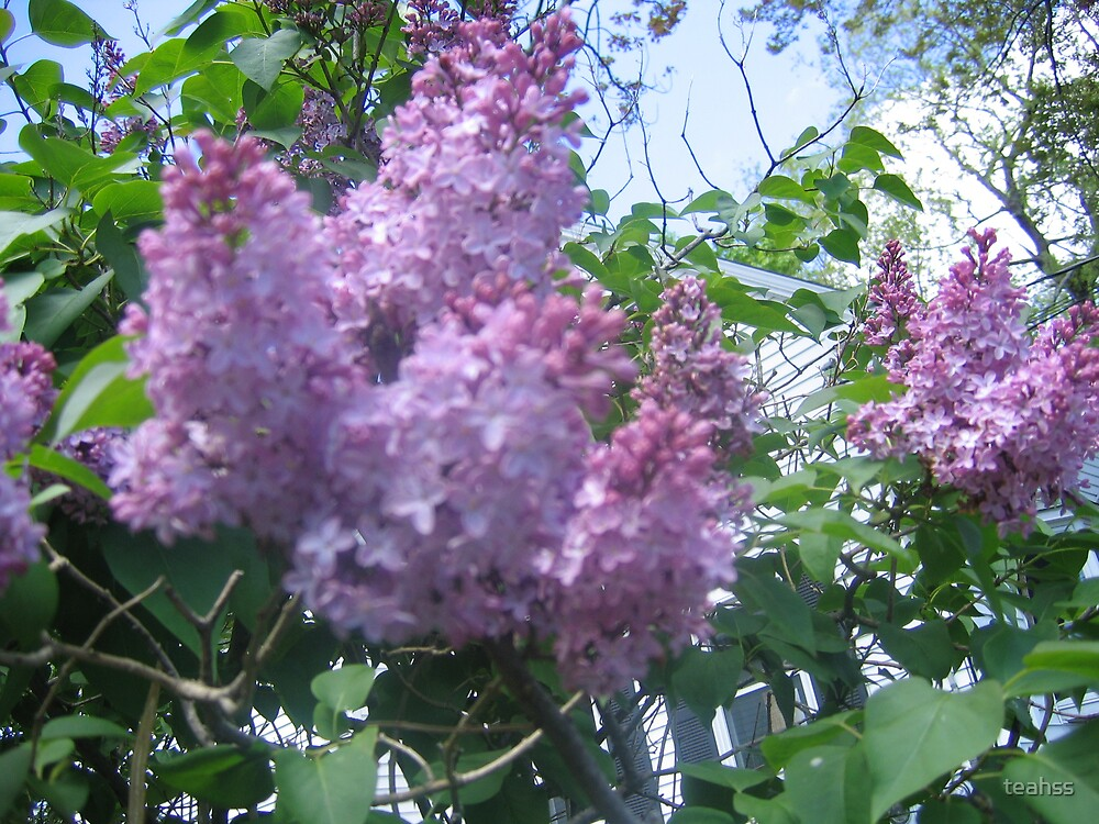 Lilacs by teahss