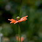 Tall Poppy by AquaMarina