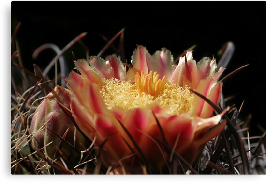 Cactus Flower  by Daniel J. McCauley IV