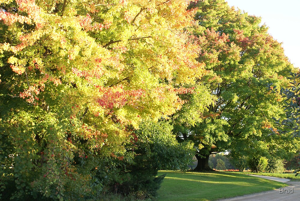 Fall Maple by Brad