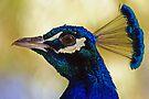 Peacock by Darren Stones