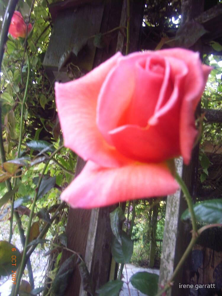 A rose for you by irene garratt