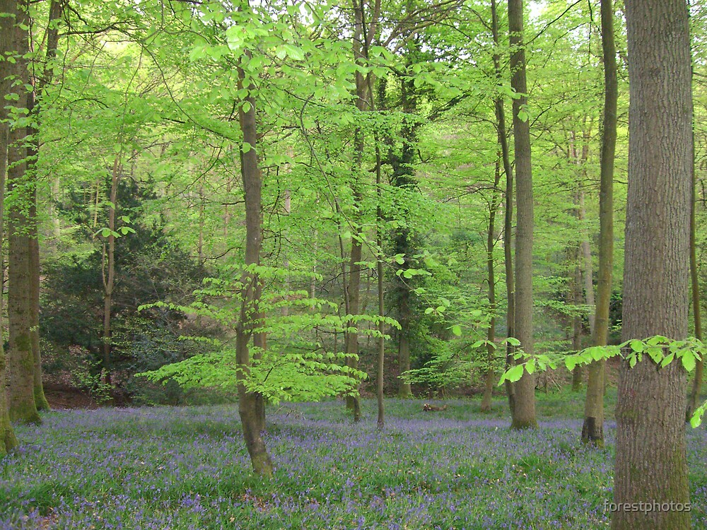 BlueBells by forestphotos