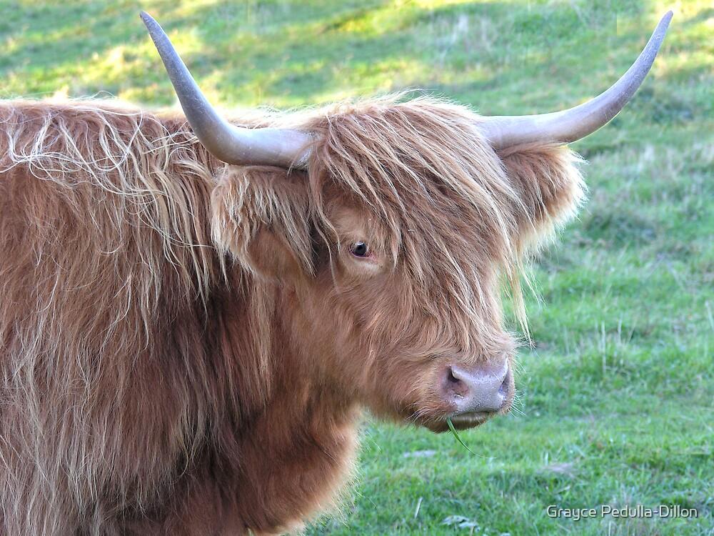 Scottish Highlander Cattle by Grayce Pedulla-Dillon
