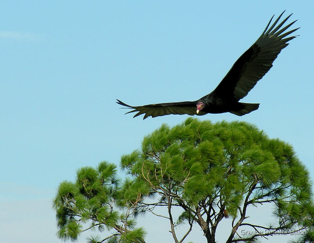 Turkey Vulture in Flight by Grayce Pedulla-Dillon
