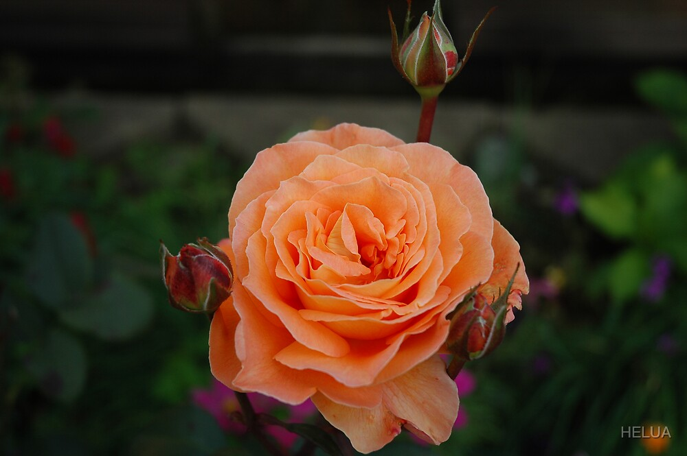 An English Rose by HELUA