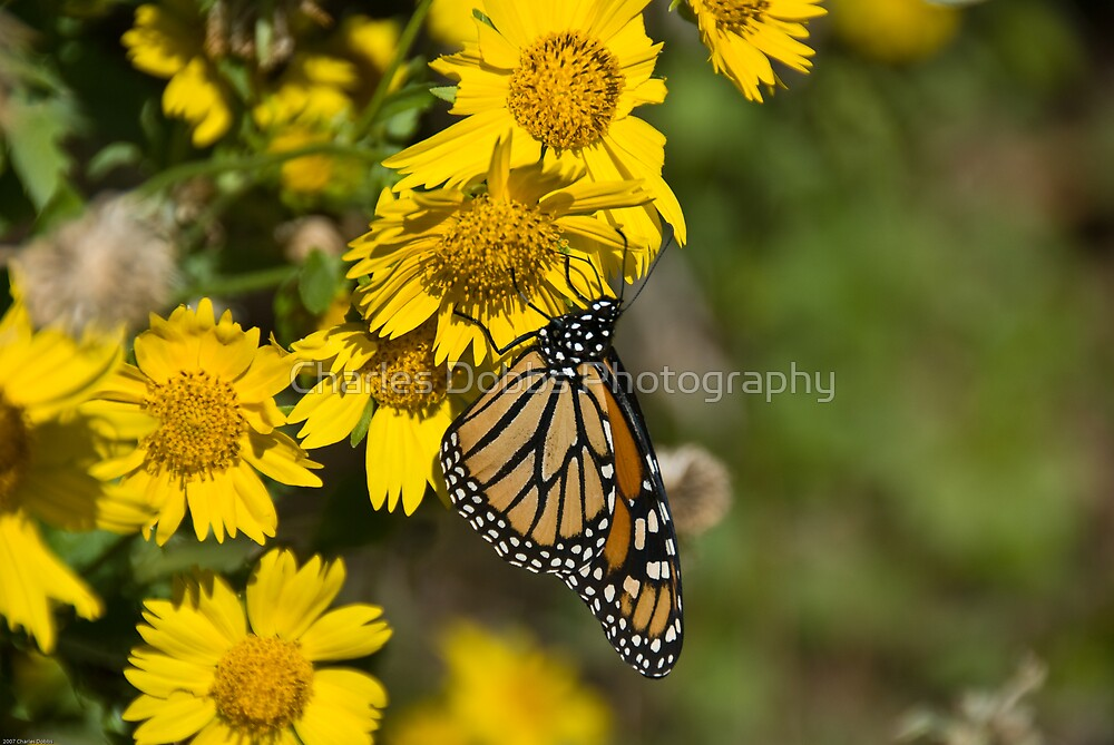 Papillon by Charles Dobbs Photography