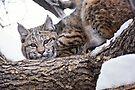 Bobcat on branch by Eivor Kuchta