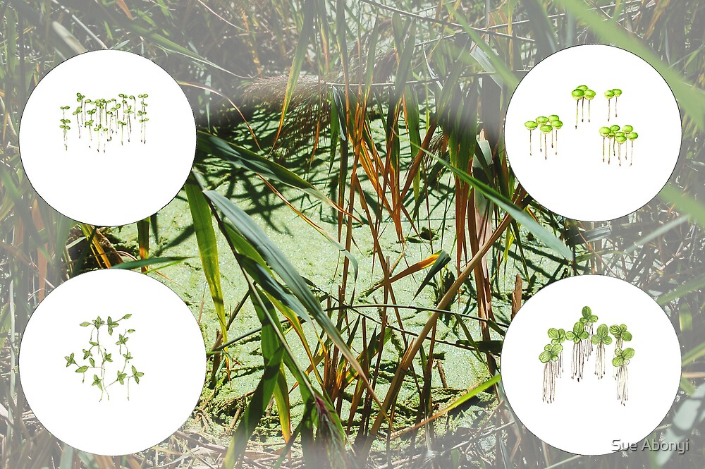 Duckweeds - Lemnaceae species by Sue Abonyi