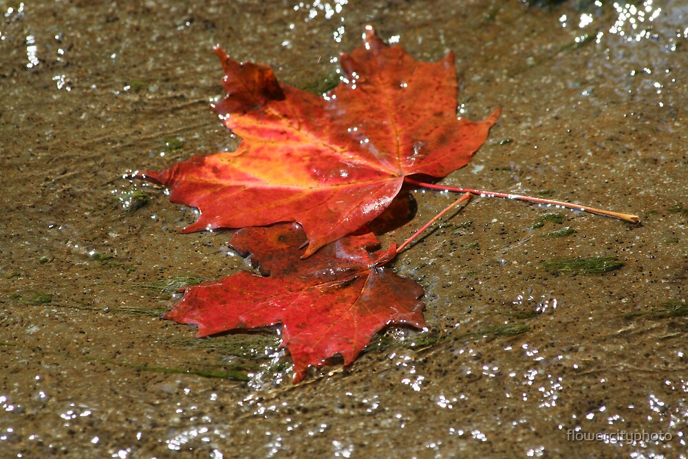 autumn leaf floating in water by flowercityphoto