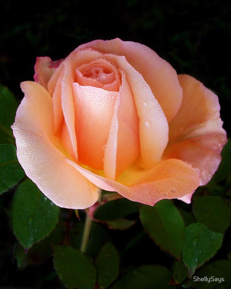 Dew on my peach rose..... by ShellySays