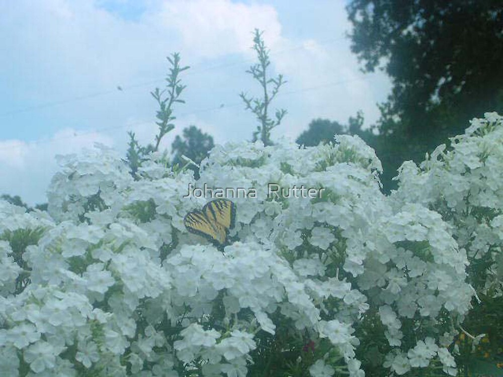 Butterfly in white bush by Johanna  Rutter